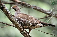 Female blue grouse. Montana