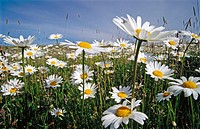 Ox eye daisy (Leucanthemum vulgare) flowers in meadow. Odertal. Germany