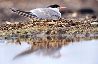 Common tern (Sterna hirundo) breeding. Anklam. Germany