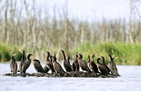 Great cormorant (Phalacrocorax carbo sinensis), young birds resting on sandbank. Anklam. Germany