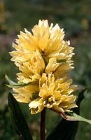 Gentian (Gentiana burseri). Pyrenees