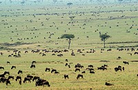 Wildebeest herd amassing preparing to migrate across mara river at dawn