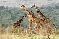 Giraffe (Giraffa camelopardalis). Kenya