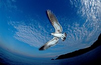 action, Atlantic Ocean, bird, birds, diving, fly, flying, gull, holiday, holidays, Larus argentatus, live, marine, m