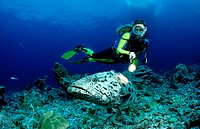 action, adventure, Andaman sea, big fish, Birma, Burma, coral reef, diving, Epinephelus tukula, fishes, holiday, hol