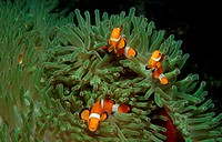 action, Amphiprion ocellaris, anemone fish, Bohol, Bohol Sea, Clownfish, clownfishes, diving, fish, fishes, holiday,