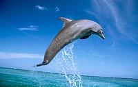 Bottlenose Dolphin. Caribbean Sea