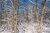 Forest with snow covered maple trees in winter