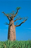 Baobab. Adansonia za. Berenty. Madagascar.