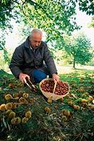 Chestnuts. Casentino. Tuscany. Italy.