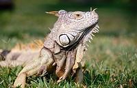 Adult Iguana. Ixtapa, Guerrero state, Mexico