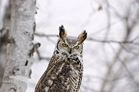 Long eared owl (asio otus) in birch tree during snow fall. Photographed in Northern Minnesota U.S.A