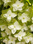 Snowflake Hydrangea close up.