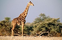 Giraffe. Etosha National Park. Namibia.
