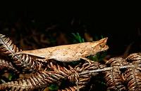 Dwarf chameleon (Brookesia superciliaris). Andasibe. Madagascar.