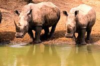 Rhinos, Umfolozi Game Reserve, KwaZulu Natal , South Africa