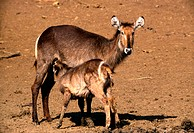 Waterbuck Ewe & Calf, , Pilanesberg National Park , North West Province, South Africa