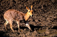 Reedbuck , Pilanesberg National Park , North West Province , South Africa