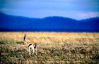Thomson´s Gazelles, Masai Mara National Reserve, Kenya
