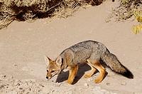 Argentine Gray Fox (Dusicyon griseus). Valdes Peninsula. Argentina
