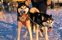 Husky sled dogs. Alaska, USA