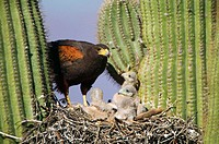 Harris´ Hawk (Parabuteo unicinctus). At nest in saguaro cactus, group hunters showing rabbit prey raptor. Desert dwellers. Arizona. USA.