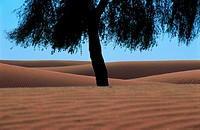Tree in the desert, UAE