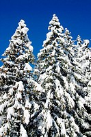 Snow covered firs, Switzerland
