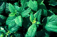 Melissa officinalis. Lemon Balm foliage.