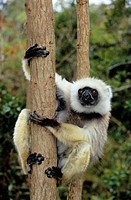 Diademed sifaka (Propithecus diadema diadema) clinging to a tree. The diademed sifaka is endemic to the rainforests of eastern and north-eastern Madag...