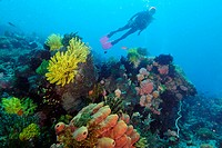 Diver enjoys the sight of colorful sponges, corals and feather stars at Coconut point. Apo island Marine Reserve, Philippines
