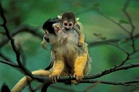 Common Squirrel Monkey , Primate , Primates , Saimiri sciureus , South America , Adult with baby , young sitting on back , on tree