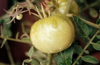 Green tomato on vine