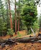 Ponderosa Pines (Pinus ponderosa), Mill Creek Wilderness, Ochoco National Forest. Prineville, Oregon, USA
