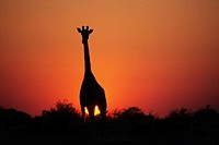 Giraffe against sunset in Etosha Pan, Namibia.