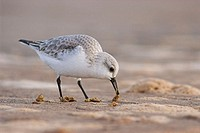 Sanderling (Calidris alba) in winter plummage feeding from worms on seashore. England