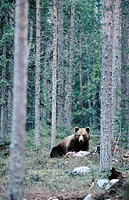 Brown bear (Ursus arctos). Walking in the pineforest. Kuhmo. Finland