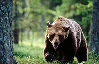 Brown bear (Ursus arctos). Walking against me in the pineforest. Suomussalmi. Finland.