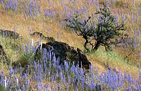Lupine. Mariposa County, California, USA