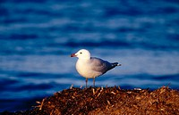 Audouin's Gull (Larus audouinii)