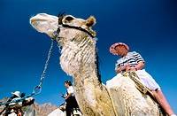 Camel ride for tourists. Sinai desert. Egypt