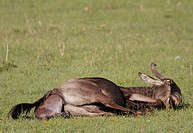 Wildebeest giving birth