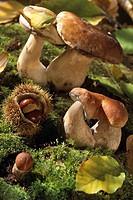 MUSHROOM<BR>Cep mushrooms.