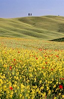 Field with poppies and rape. Val d'Orcia. Tuscany. Italy