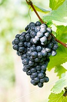 Red wine grapes on the vine (thumbnail)