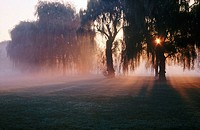 Weeping willow trees and mist and sun rays