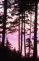 Pine trees and sun over the ocean