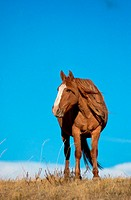 Low angle view of a Spanish mustang (Equus caballus)