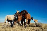 Low angle view of a herd of Spanish mustangs (Equus caballus)