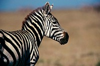 Close-up of a Burchell's Zebra (Equus burchelli)